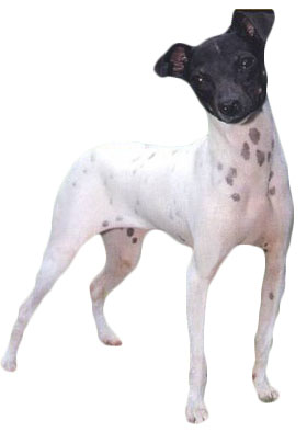 Japanese Terrier Dog Breed