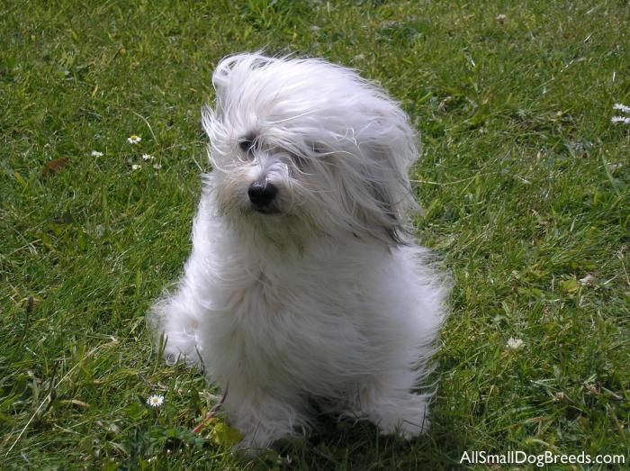 ... see more about havanese dogs dog breeds small dogs - (550x232 - 7kB