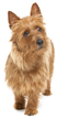 australian terrier - NO.1# SMALL DOGS BREED CHART -LIST OF  SMALL DOGS THAT DON'T SHED