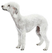 bedlington terrier - NO.1# SMALL DOGS BREED CHART -LIST OF  SMALL DOGS THAT DON'T SHED