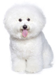 bichon frise - NO.1# SMALL DOGS BREED CHART -LIST OF  SMALL DOGS THAT DON'T SHED