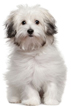 bolognese - NO.1# SMALL DOGS BREED CHART -LIST OF  SMALL DOGS THAT DON'T SHED