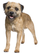 border terrier - NO.1# SMALL DOGS BREED CHART -LIST OF  SMALL DOGS THAT DON'T SHED