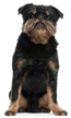 brussels griffon rough - NO.1# SMALL DOGS BREED CHART -LIST OF  SMALL DOGS THAT DON'T SHED