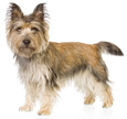 cairn terrier - NO.1# SMALL DOGS BREED CHART -LIST OF  SMALL DOGS THAT DON'T SHED