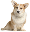 cardigan welsh corgi - NO.1# BIG LIST OF THE MOST EASIEST TO TRAIN SMALL DOGS BREEDS