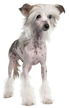 chinese crested hairless - NO.1# SMALL DOGS BREED CHART -LIST OF  SMALL DOGS THAT DON'T SHED