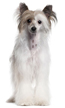 chinese crested powderpuff - NO.1# SMALL DOGS BREED CHART -LIST OF  SMALL DOGS THAT DON'T SHED