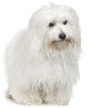 coton de tulear - NO.1# SMALL DOGS BREED CHART -LIST OF  SMALL DOGS THAT DON'T SHED