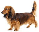 Small Dog Breeds A To Z Complete List