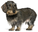 dachshund wirehaired - NO.1# SMALL DOGS BREED CHART -LIST OF  SMALL DOGS THAT DON'T SHED