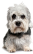 dandie dinmont terrier - NO.1# SMALL DOGS BREED CHART -LIST OF  SMALL DOGS THAT DON'T SHED