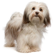 havanese - NO.1# SMALL DOGS BREED CHART -LIST OF  SMALL DOGS THAT DON'T SHED
