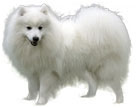 japanese spitz - NO.1# BIG LIST OF THE MOST EASIEST TO TRAIN SMALL DOGS BREEDS