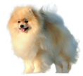 klein german spitz - NO.1# BIG LIST OF THE MOST EASIEST TO TRAIN SMALL DOGS BREEDS