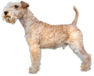 lakeland terrier - NO.1# SMALL DOGS BREED CHART -LIST OF  SMALL DOGS THAT DON'T SHED