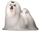 maltese - NO.1# SMALL DOGS BREED CHART -LIST OF  SMALL DOGS THAT DON'T SHED