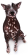 mexican hairless - NO.1# SMALL DOGS BREED CHART -LIST OF  SMALL DOGS THAT DON'T SHED