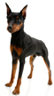 miniature pinscher - NO.1# BIG LIST OF THE MOST EASIEST TO TRAIN SMALL DOGS BREEDS