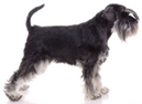 miniature schnauzer - NO.1# SMALL DOGS BREED CHART -LIST OF  SMALL DOGS THAT DON'T SHED