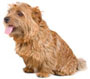 norfolk terrier - NO.1# SMALL DOGS BREED CHART -LIST OF  SMALL DOGS THAT DON'T SHED