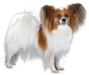 papillon - NO.1# BIG LIST OF THE MOST EASIEST TO TRAIN SMALL DOGS BREEDS