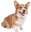 pembroke welsh corgi - NO.1# BIG LIST OF THE MOST EASIEST TO TRAIN SMALL DOGS BREEDS