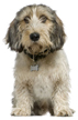 petit basset griffon vendeen - NO.1# SMALL DOGS BREED CHART -LIST OF  SMALL DOGS THAT DON'T SHED