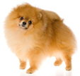pomeranian - NO.1# BIG LIST OF THE MOST EASIEST TO TRAIN SMALL DOGS BREEDS