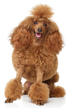 poodle miniature - NO.1# SMALL DOGS BREED CHART -LIST OF  SMALL DOGS THAT DON'T SHED