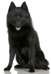 schipperke - NO.1# BIG LIST OF THE MOST EASIEST TO TRAIN SMALL DOGS BREEDS