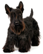 scottish terrier - NO.1# SMALL DOGS BREED CHART -LIST OF  SMALL DOGS THAT DON'T SHED