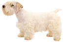 sealyham terrier - NO.1# SMALL DOGS BREED CHART -LIST OF  SMALL DOGS THAT DON'T SHED