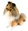 shetland sheepdog - NO.1# BIG LIST OF THE MOST EASIEST TO TRAIN SMALL DOGS BREEDS