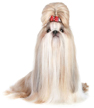 shih tzu - NO.1# SMALL DOGS BREED CHART -LIST OF  SMALL DOGS THAT DON'T SHED