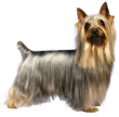 silky terrier - NO.1# SMALL DOGS BREED CHART -LIST OF  SMALL DOGS THAT DON'T SHED