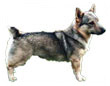 swedish vallhund - NO.1# BIG LIST OF THE MOST EASIEST TO TRAIN SMALL DOGS BREEDS