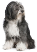 tibetan terrier - NO.1# SMALL DOGS BREED CHART -LIST OF  SMALL DOGS THAT DON'T SHED