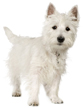 west highland white terrier - NO.1# SMALL DOGS BREED CHART -LIST OF  SMALL DOGS THAT DON'T SHED