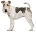 wire fox terrier - NO.1# SMALL DOGS BREED CHART -LIST OF  SMALL DOGS THAT DON'T SHED