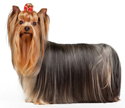 yorkshire terrier - NO.1# SMALL DOGS BREED CHART -LIST OF  SMALL DOGS THAT DON'T SHED
